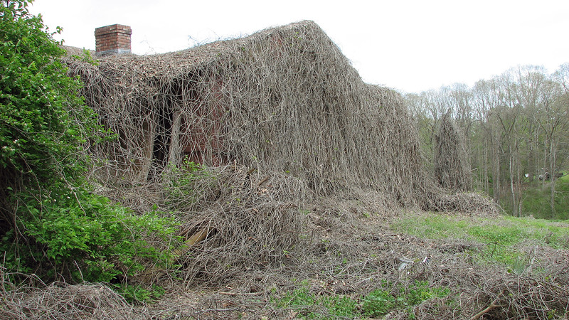 This house is COMPLETELY covered with vines.