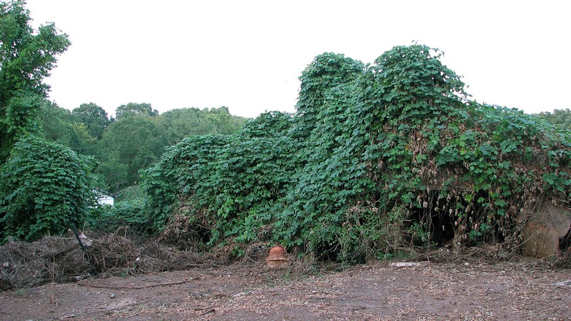 The photo above is of what appears to be a garage that is still covered by vines.