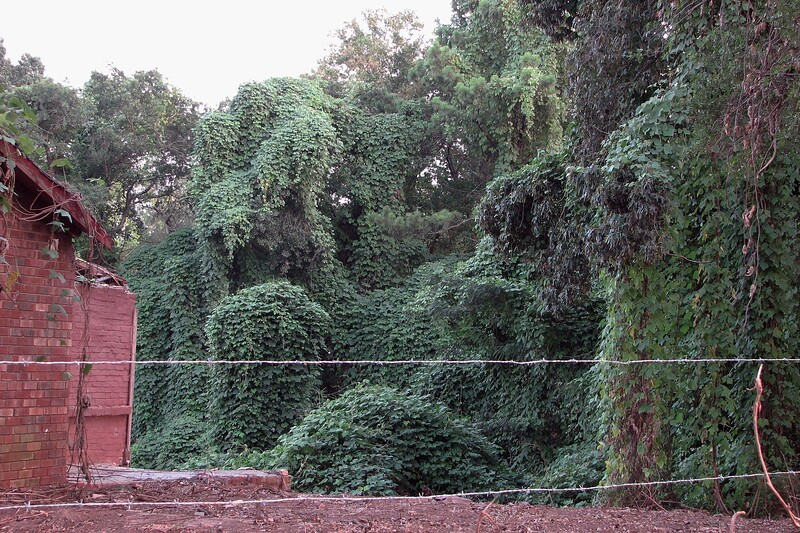 The photo above shows that vines still cover all of the nearby trees.