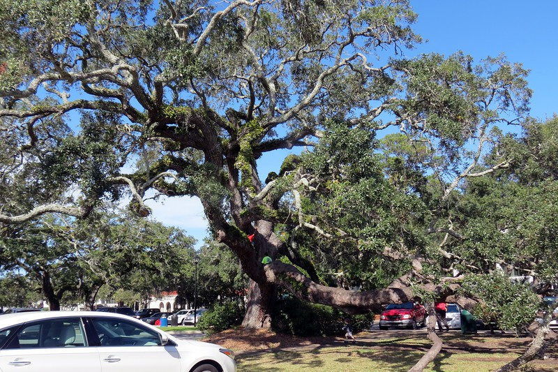 I noticed a group of kids thoroughly enjoying themselves climbing on one of the Live Oak trees in the parking area when I arrived.  The kid in my struggled to resist the temptation to join them.  But visions of 49-year-old uncoordinated me laying flat on my back on the sidewalk below did the trick.