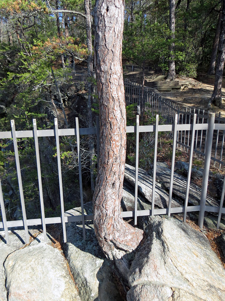 I also discovered a tree growing from the rocks, like I saw in Colorado.