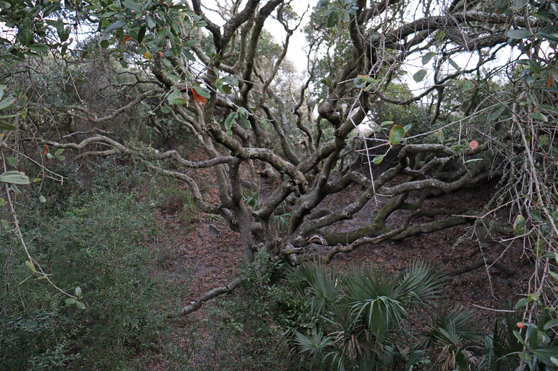 The photo above is of what looks like a small Southern Live Oak tree.  Much larger examples are found all over the island.