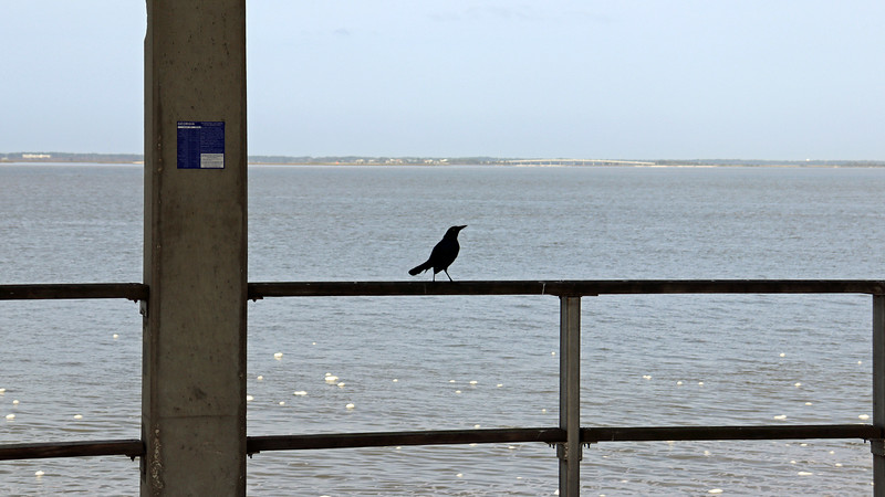 Another noisy pier visitor.