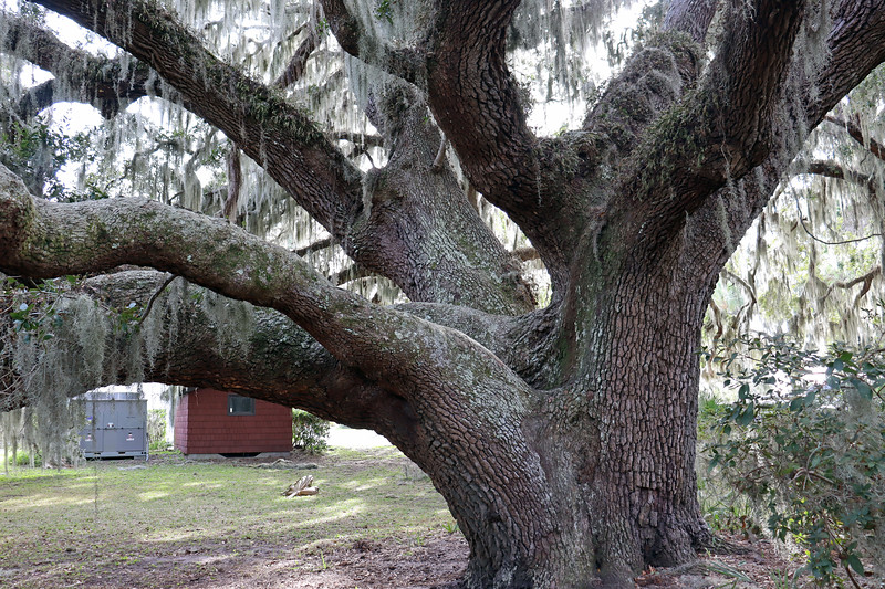 """It's estimated to be 350 years old.  The trunk measures 7' 3"""" in diameter."""