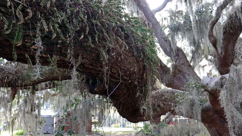 Like all of the Live Oaks on the island, this one is covered with Spanish Moss and Resurrection Fern, both of which are harmless to the tree.