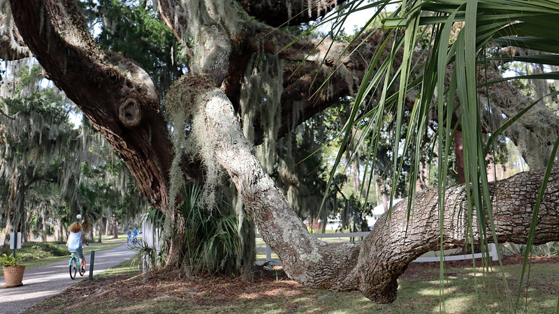 The photos above and below show an abundance of a light colored plant hanging from the tree branches.  Spanish Moss can be found everywhere on this island.