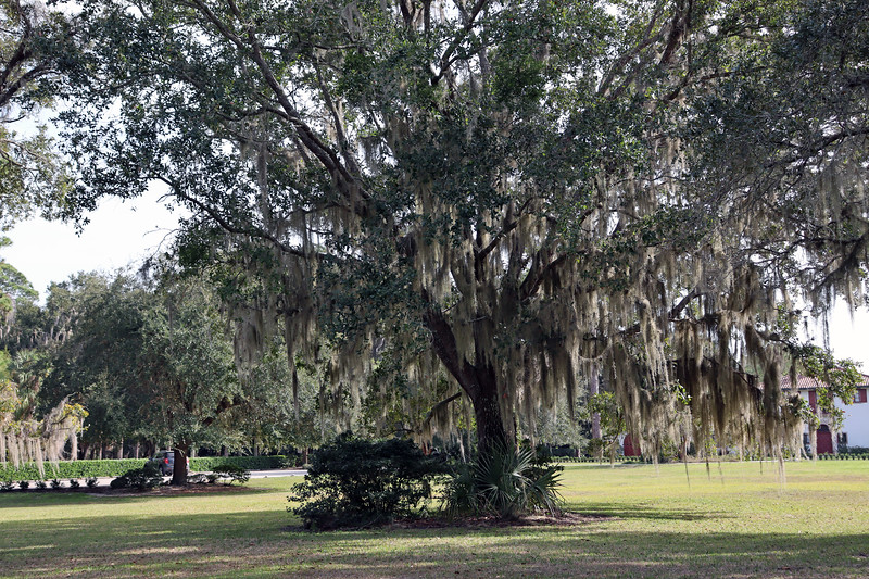 Next to my favorite oak tree mentioned above sit 13  more Live Oak trees arranged in a circle, with one tree in the center surrounded by 12 others.