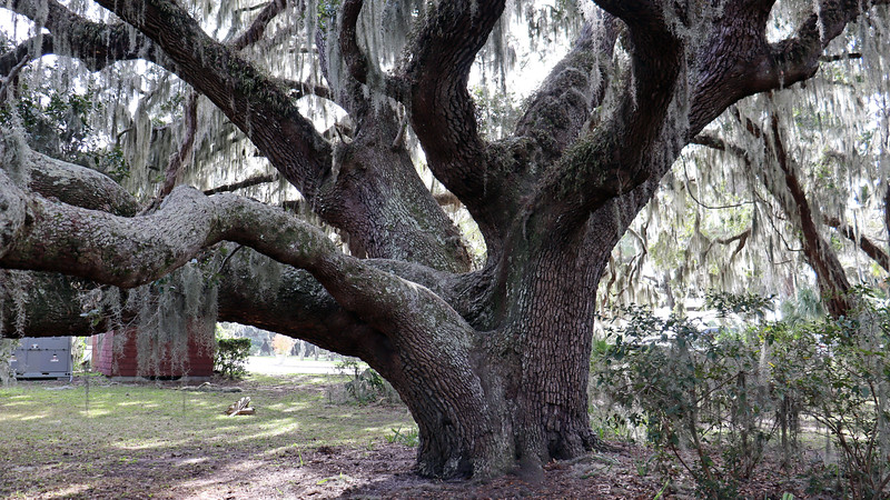 Next to the Chichota ruins sits Plantation Oak, another landmark of the island.