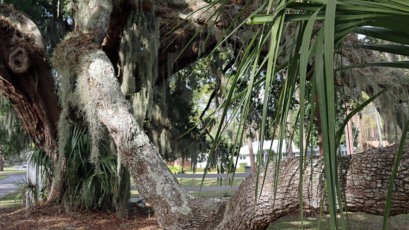 """I remember the first time I visited Jekyll Island in 2014 when I had no idea what Spanish Moss was.  I actually had to ask one of the grounds workers what """"that stuff hanging off of the trees"""" was.  She understood my confusion once I said that I was originally from Pennsylvania.  """"Oh no, you wouldn't see it up there,"""" she says.  Spanish Moss likes a mild and humid climate.  So it's hanging everywhere here."""