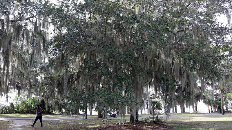 """One of the """"13 Oaks"""" at the northern end of the Historic District."""