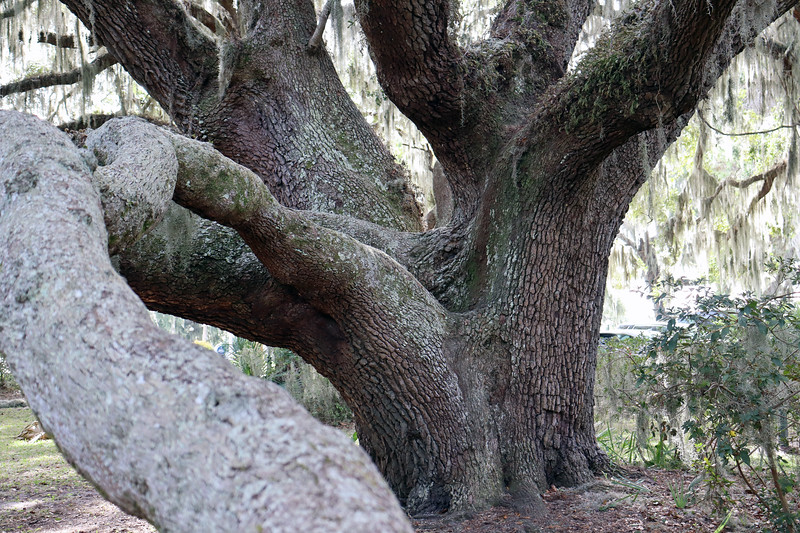 Even more impressive is the fact that this tree measures 128 feet from limb to limb.