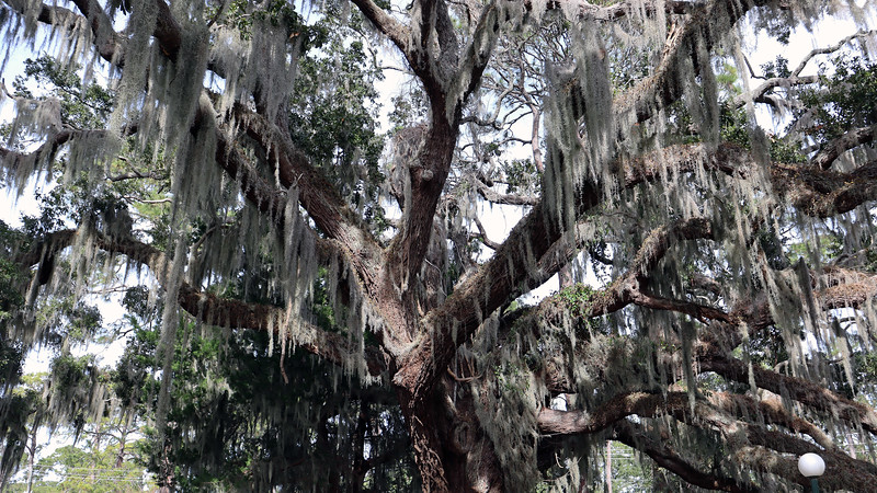 I saw this tree during my first visit to Jekyll Island in 2014, and have made a point of stopping to see it each time I visit.