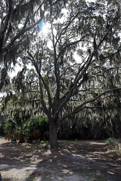 Beautiful large Live Oak trees are everywhere on the island, including the tree seen in the photo above that sits behind the duBignon cemetery.