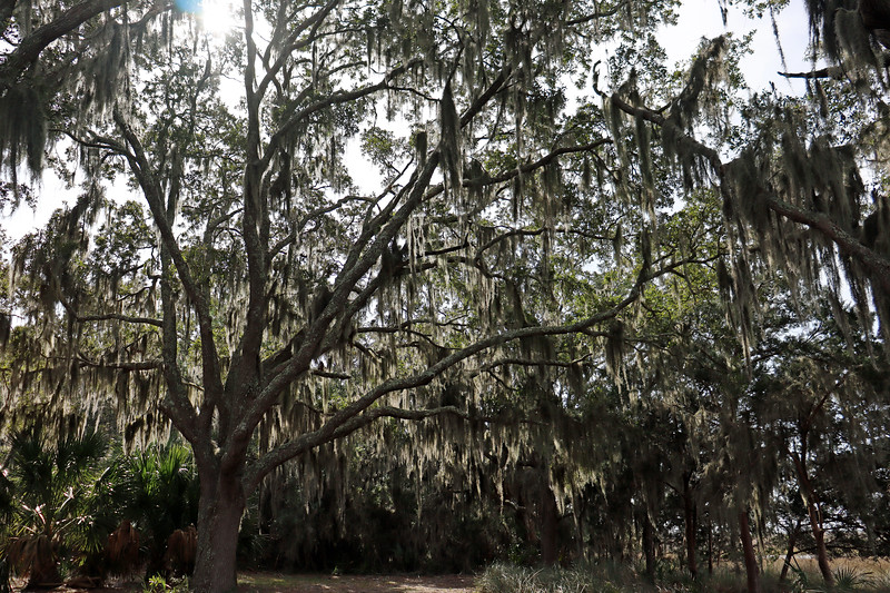 Large Live Oak tree behind the duBignon cemetery.