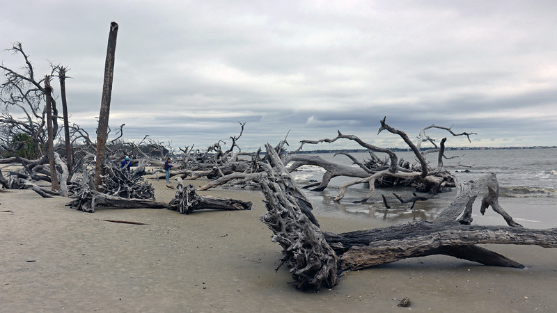 At some point in the distant past, this area was covered with large oak and pine trees.  Many, many years of erosion gradually removed the soil and sediment that supported the trees.  When enough was enough, they fell over and began to decay.