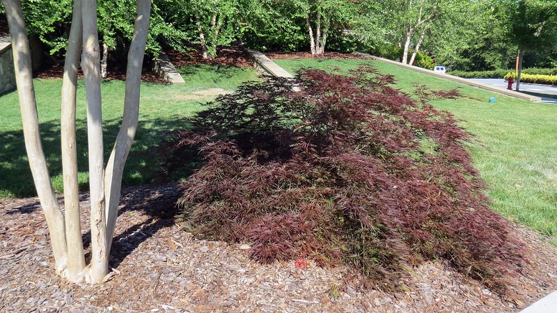 This looks like a Japanese Maple of some kind.  Not sure though.