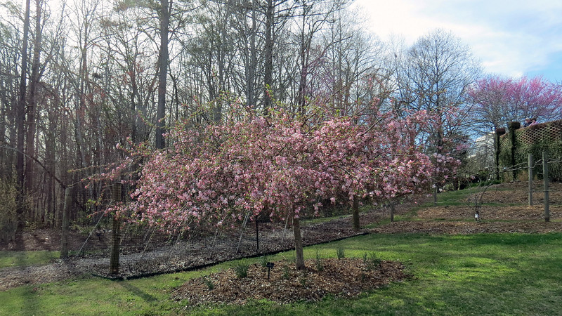 Flowering Crabapple tree.