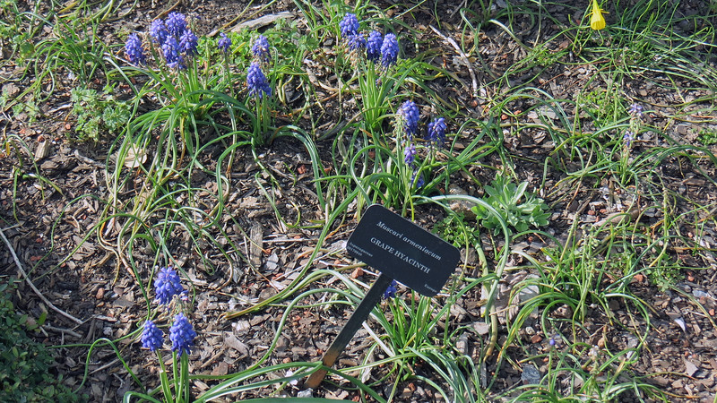 I have a couple of Grape Hyacinths in my yard.