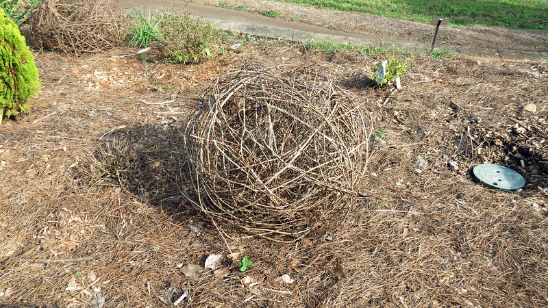 I don't know what this is.  But it looks like tumbleweed.