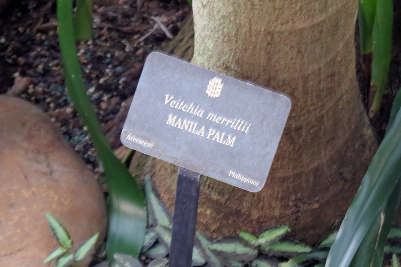 Manila Palm tree.