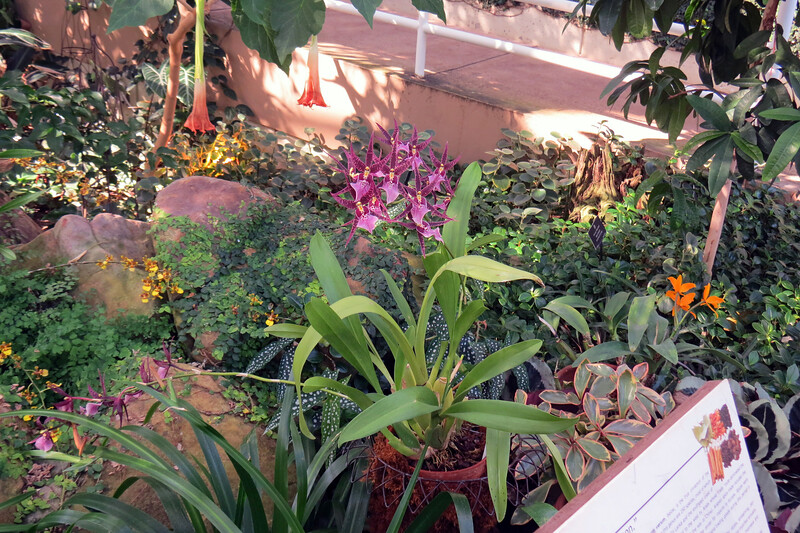 The plant in the center of the photo above is a hybrid orchid Degarmoara Memoria Jay Yamada.