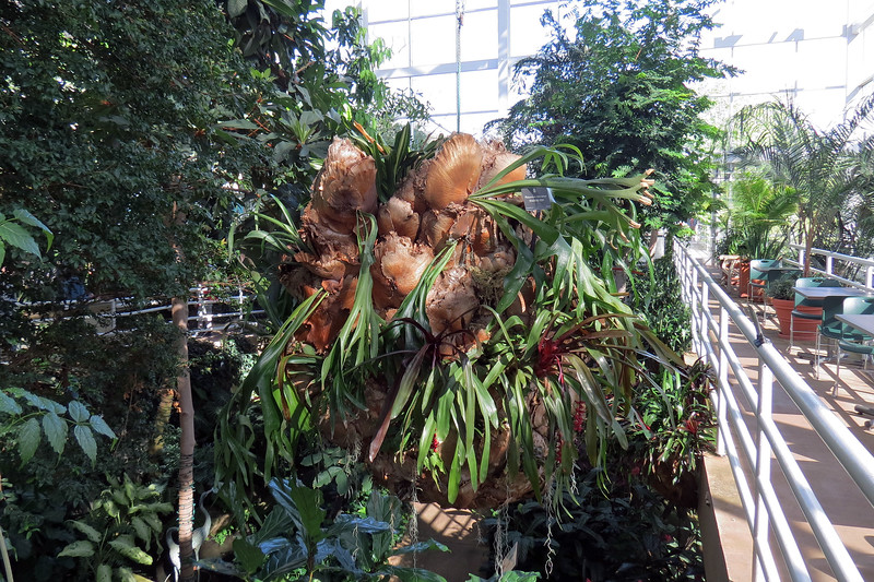 This Staghorn Fern was quite large.
