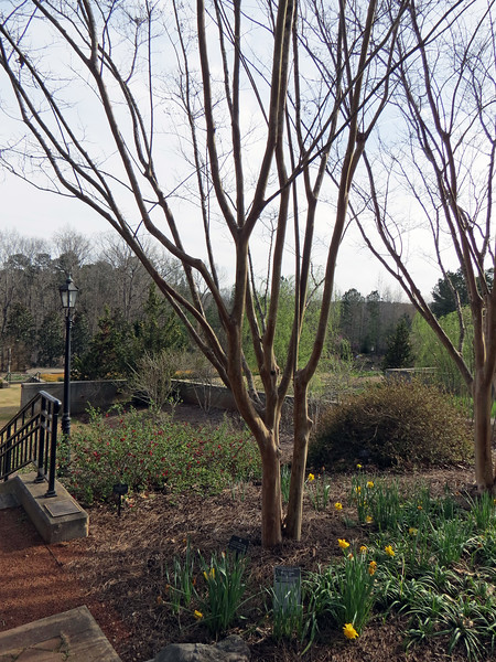 The Japanese Crapemyrtle seen in the photo above still sleeping during our visit.