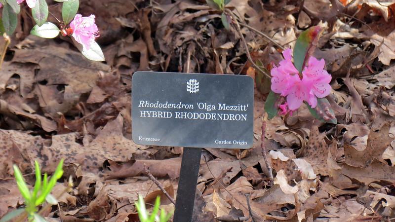 Hybrid Rhododendron.