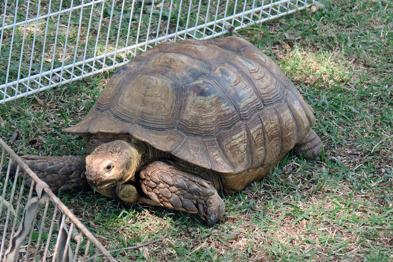 Giant Tortuous at Pittard Park.