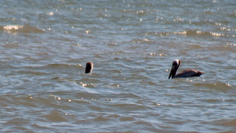 Two of three birds seen off shore.