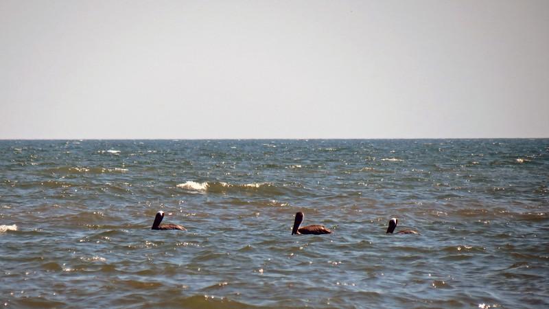 Three birds off shore.