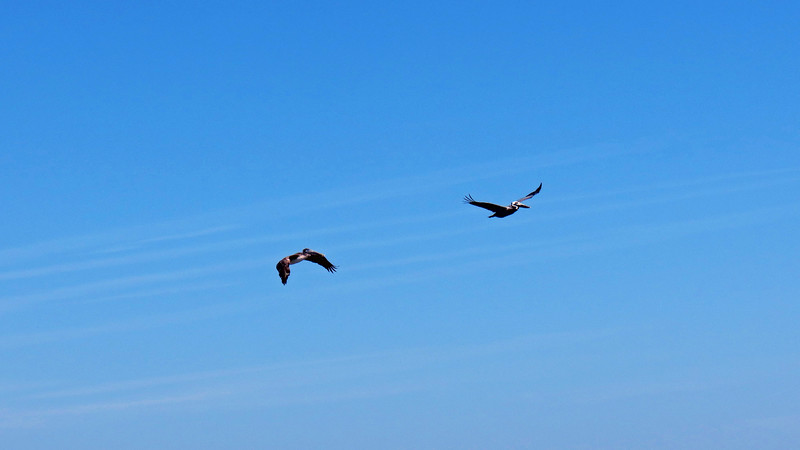 I tried to capture a couple of locals in flight as they flew overhead and managed to get a couple of decent shots.