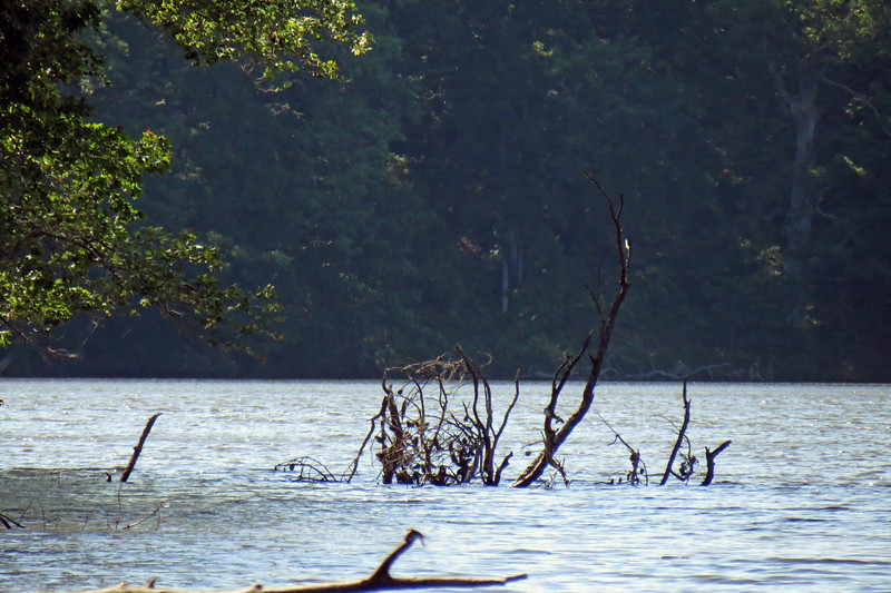 Dead tree that fell into Rock Eagle Lake.