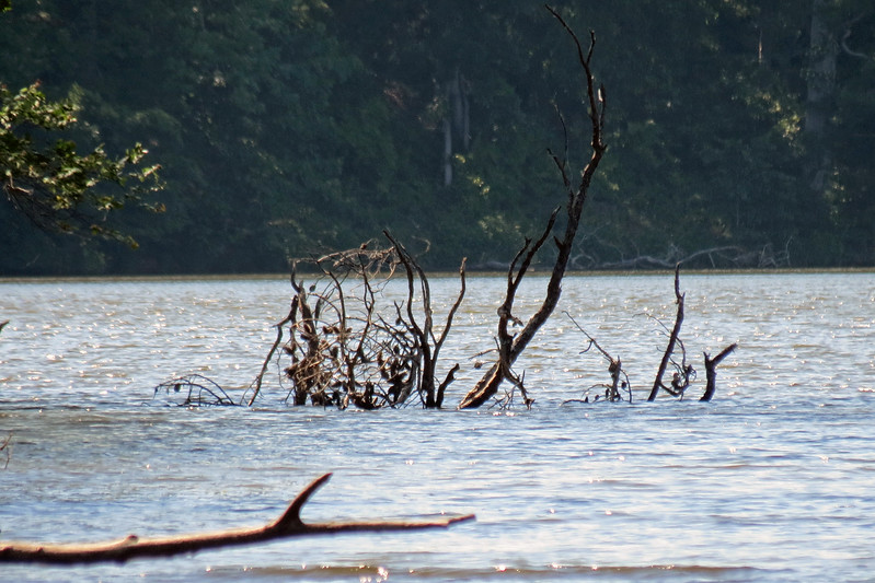 Dead tree that fell over into the lake.