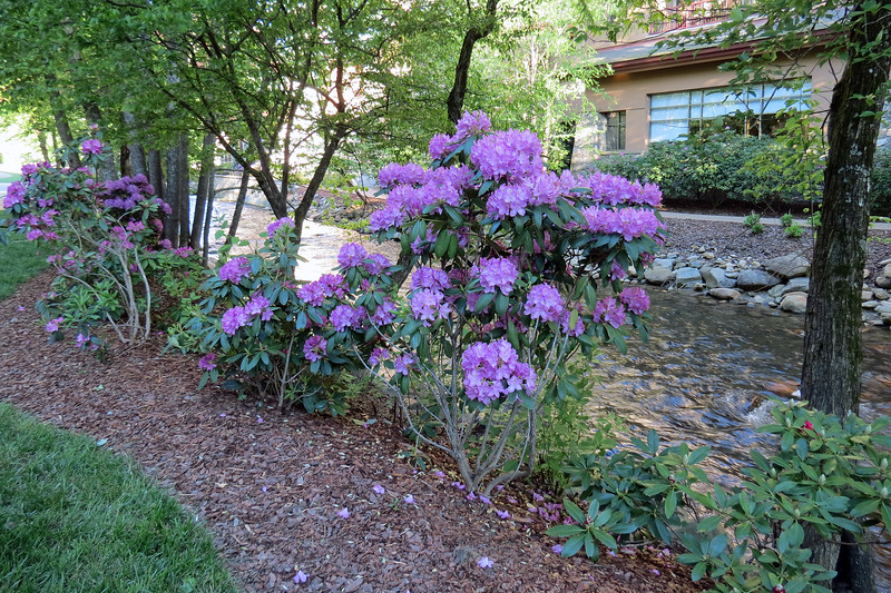 Soco Creek runs through the entire property and makes a wonderful backdrop for the equally wonderful landscaping.  I believe this is some variety of Rhododendron.