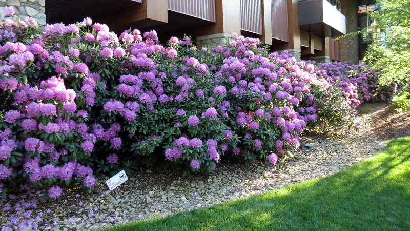 I'm now walking west along the hotel side of Soco Creek.  The Rhododendrons are beautiful !
