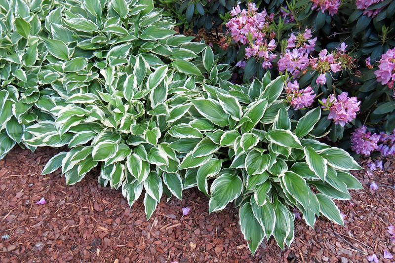 Great combination of green/white Hosta with the purple/pink Rhododendrons.