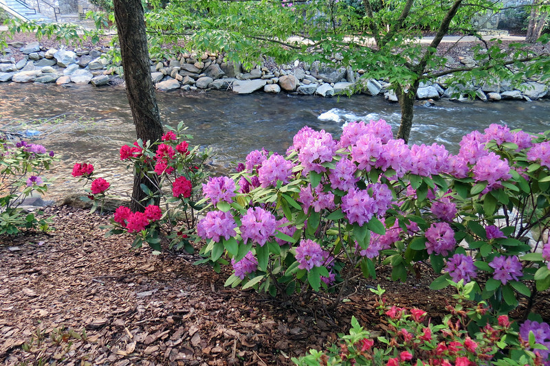 More Rhodendrons and an Azalea.