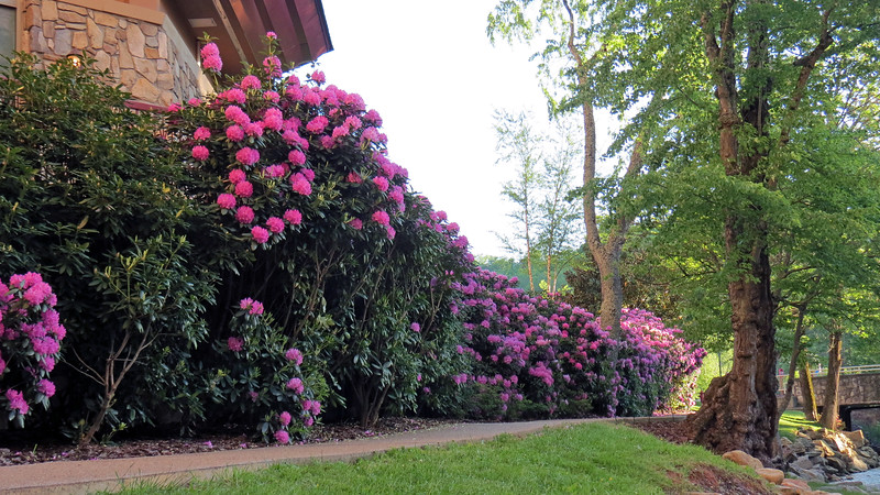 Beautiful Rhododendrons.