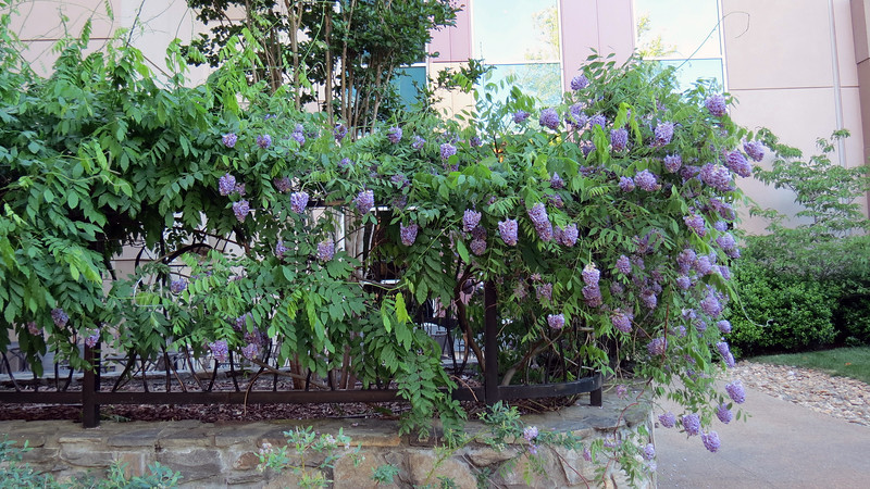 This looks like a variety of Wisteria vine.