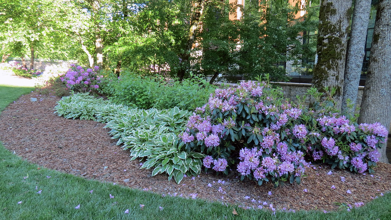 I continued walking east along the casino side of Soco Creek.  The combination of purple Rhododendrons and green/white Hosta evergreens looked great !
