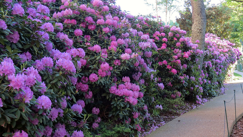 More stunning Rhododendrons.
