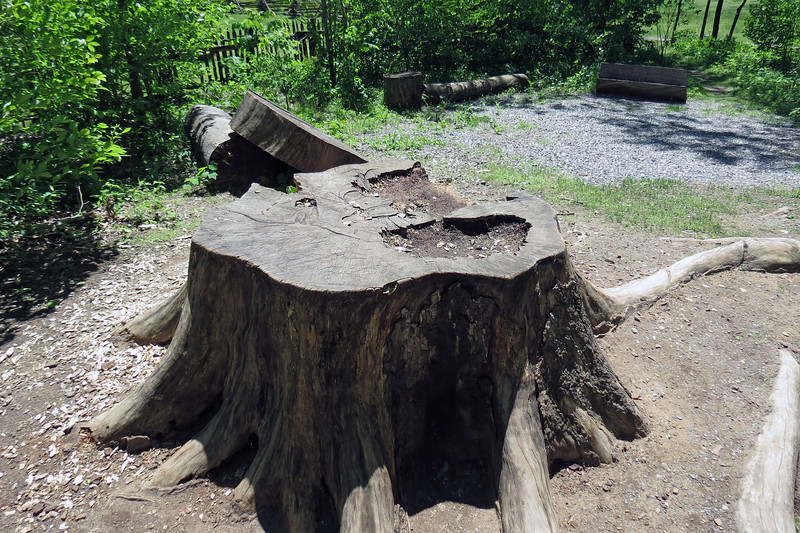 This large tree stump sits at the entrance to the Mountain Farm Museum.  This tree was HUGE !