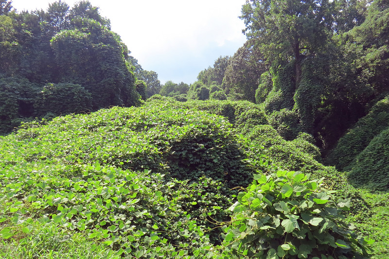 I had no idea what Kudzu was when I first moved to Georgia.  I had never seen it before.