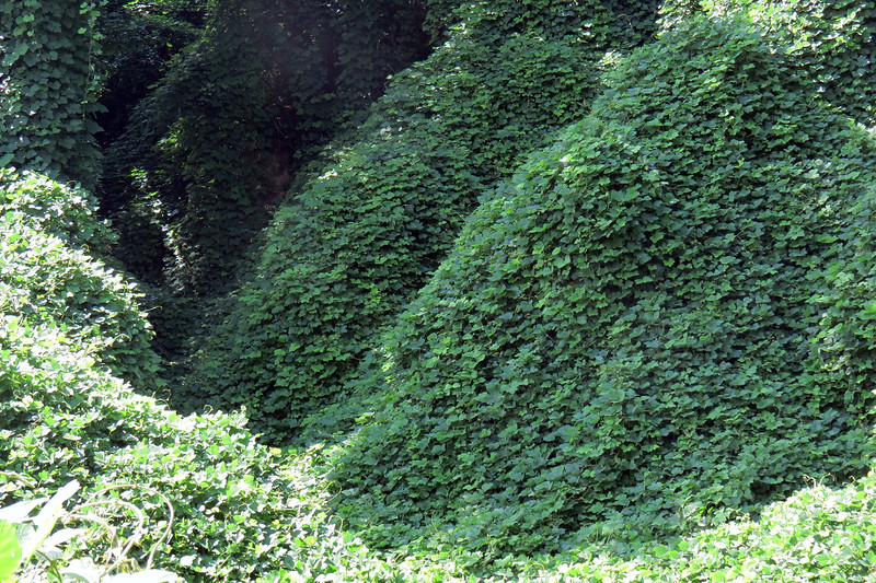I did some research and discovered  -  surprise, surprise  -  that Kudzu is an invasive vine.