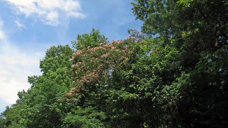 Beautiful flowering Crape Myrtle.