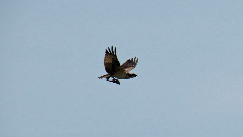 I don't know what this is, (a hawk or osprey, maybe ?).  But it looks like he has caught some dinner for his family.