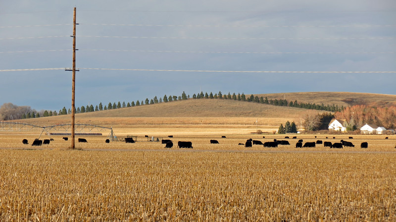 I also discovered that those spaces are also filled with cows.  Miles and miles of cows.