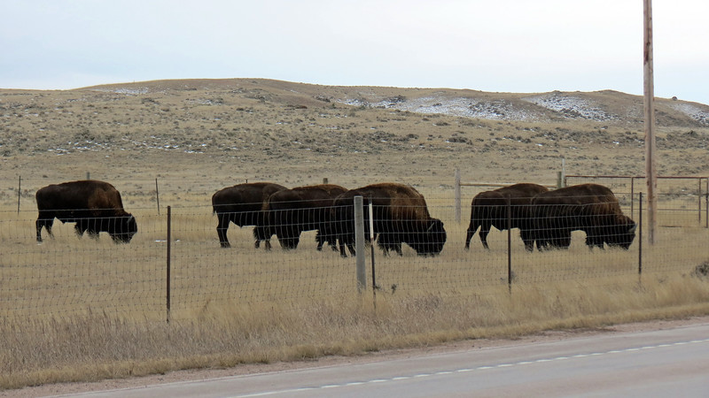 Another difference between bison and buffalo is that bison have a hump at the shoulders.