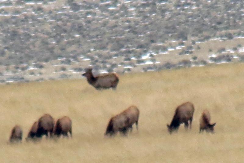Herd of elk across from the bison calves.
